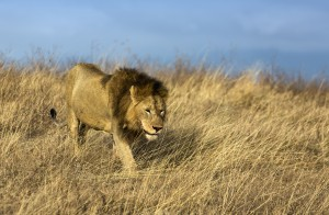 A beautiful lion from the pre-climb Acclimatization Safari in Ngorongoro Crater!